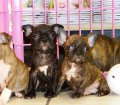 Frenchton Puppies For Sale (8)