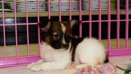 Papillon puppies for sale GA