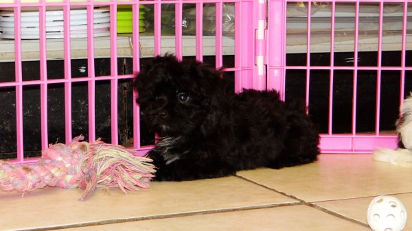 Eye Catching Yorkie Poo Puppies For Sale in Atlanta Georgia, GA