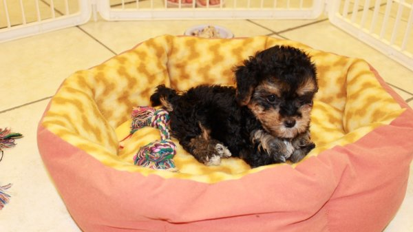 Lovable Yorkie Poo Puppies For Sale in Atlanta Georgia, GA