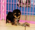 Yorkie PooPuppies For Sale (1)
