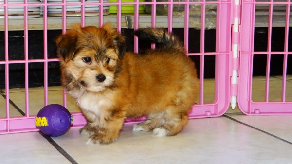 Good Looking Yorkie Ton Puppies For Sale in Atlanta Georgia, GA