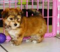 Yorkie Ton Puppies For Sale (2)