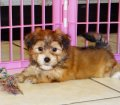 Yorkie Ton Puppies For Sale (3)