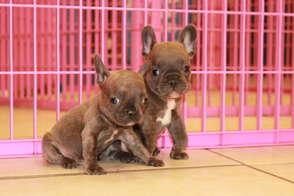 Beautiful, French Bulldogs Puppies For Sale In Georgia