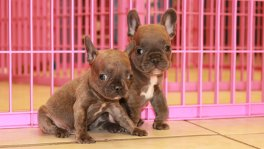 Blue, White, French Bulldog Puppies For Sale in Georgia