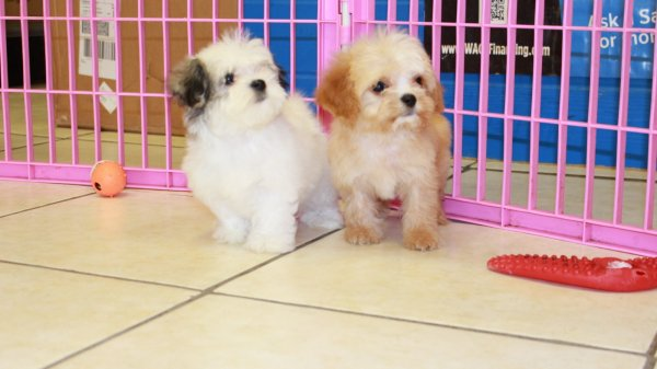 Special Cavatese Puppies For Sale In Atlanta Georgia,GA