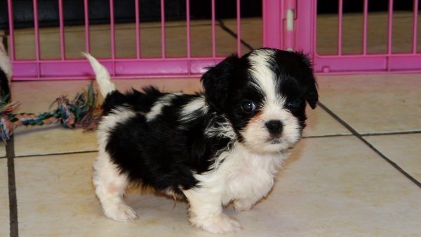 Affectionate Cavaton Puppies For Sale In Atlanta Georgia,GA