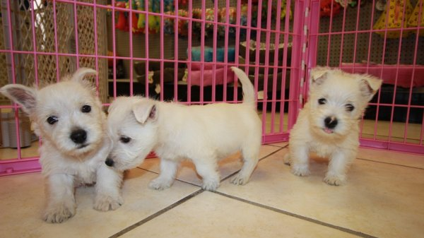 Special West Highland White Terrier, Westie, Puppies For