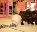 Shih Poo Puppies For Sale Local Breeders (16)