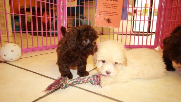 Affectionate Shih Poo Puppies For Sale In Atlanta Georgia Ga At Puppies For Sale Local Breeders