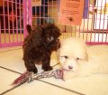 Shih Poo Puppies For Sale Local Breeders (20)