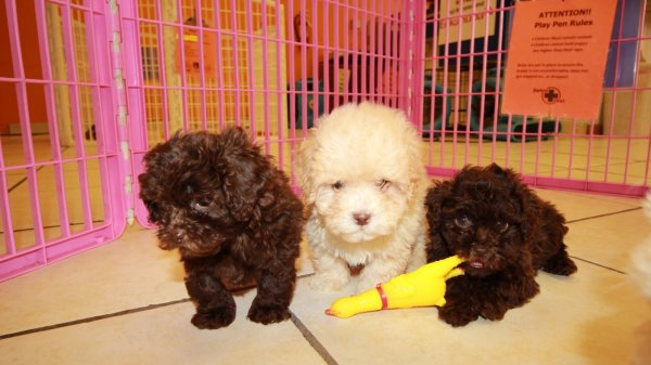 Affectionate Shih Poo Puppies For Sale In Atlanta Georgia, GA