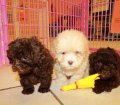 Shih Poo Puppies For Sale Local Breeders (4)