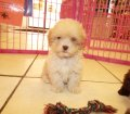 Shih Poo Puppies For Sale Local Breeders (9)