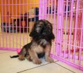 Cava Tzu Puppies For Sale Local Breeders (16)