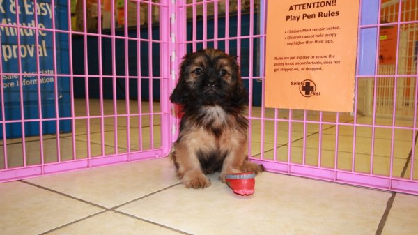 Darling Cava Tzu Puppies For Sale In Atlanta Georgia,GA
