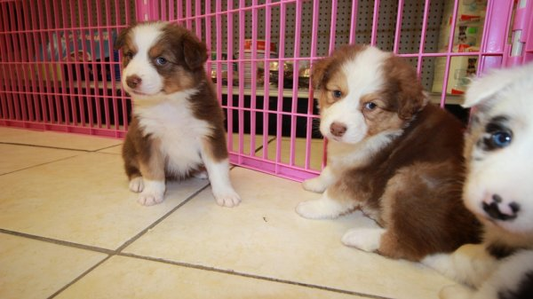 Exceptional Red Merle, Red Tri Color, Australian Shepherd Puppies