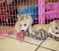 SIBERIAN HUSKY PUPPIES FOR SALE LOCAL BREEDERS (50)