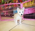 SIBERIAN HUSKY PUPPIES FOR SALE LOCAL BREEDERS (72)