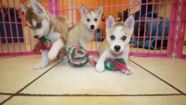 Siberian Husky puppies for sale GA