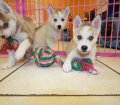 SIBERIAN HUSKY PUPPIES FOR SALE LOCAL BREEDERS (76)