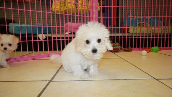 beautiful teacup malti poo puppies for sale in ga teacup maltese toy poodle puppy breeder