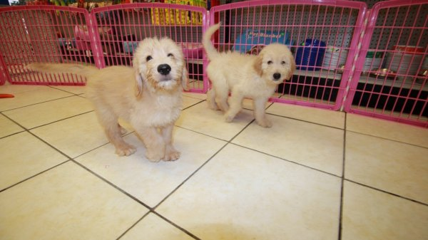 Handsome Golden Doodle Puppies For Sale in Georgia