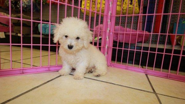 Precious Bichon Poo Puppies For Sale In Atlanta Georgia Ga Bichon