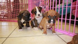 Boxer puppies for sale GA