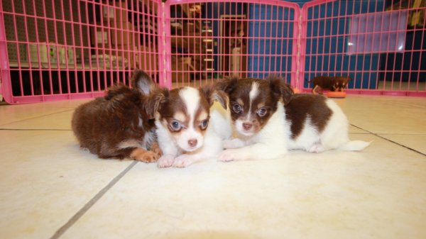 Nice Brown & White, Chihuahua Puppies For Sale In Georgia