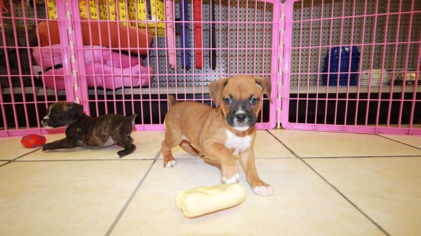 Wonderful, Boxer Puppies For Sale In Georgia