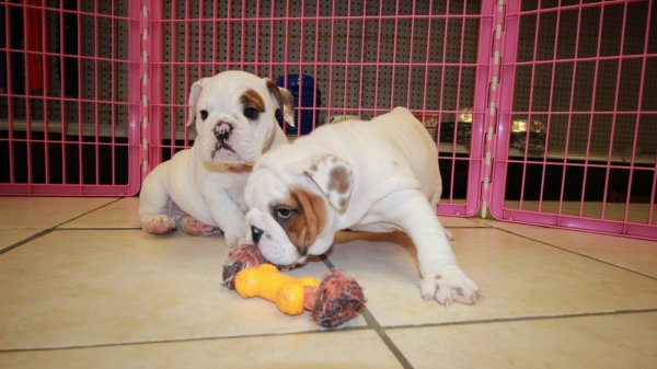 Unique English Bulldog Breeders Near Atlanta Area