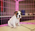 English Bulldog (7)
