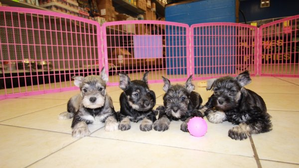 Eye Catching Black & Silver, Miniature Schnauzer Puppies For Sale In Ga