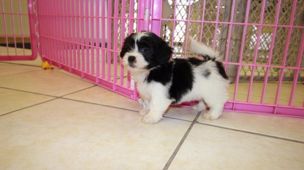 Small Dog Breeders Atlanta Ga