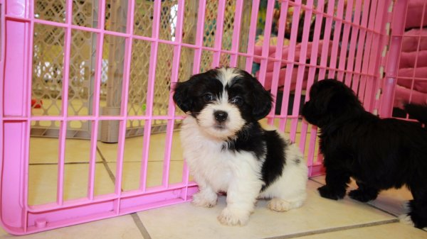 Fantastic Hava Tzu Puppies For Sale Atlanta Havanese Shih Tzu Breeders Georgia