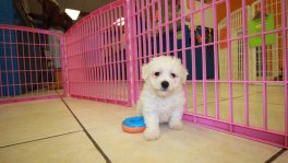 Bichon Frise Puppies For Sale In Georgia