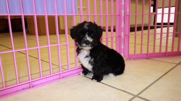 Fantastic Havapoo Puppies For Sale in Atlanta Georgia, GA at