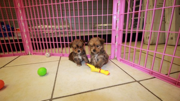 Cuddly Havashire Puppies For Sale In Atlanta Georgia, GA