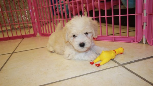Good Looking Maltichon Puppies For Sale GA. Hybrid Designer Hypoallergenic Dog Breed