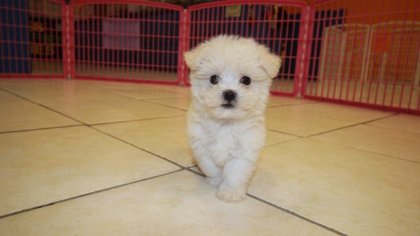 charming malti poo puppies for sale in atlanta hypoallergenic designer dog breed at