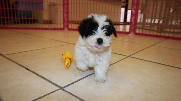 malti poo puppies for sale georgia maltese toy poodle designer breed
