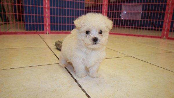 maltese is a male maltese for sale in atlanta ga dog