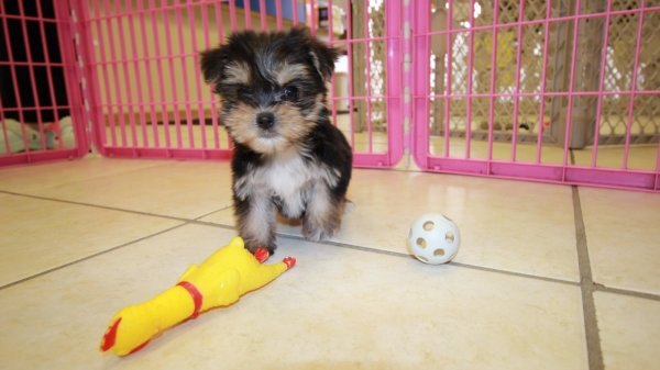 Affectionate Hypoallergenic Teacup Morkie Puppies Atlanta, Ga.