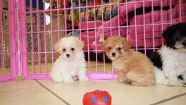 Teacup Toy Poodle puppies for sale Atlanta Teacup Toy Poodle Puppy Breeders Georgia