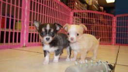 Blue, Chihuahua puppies for sale Georgia