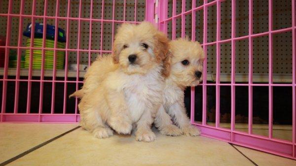 Goldendoodle Puppies in Atlanta - English Cream, Doodles ...