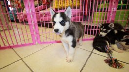 Siberian Husky puppies for sale Georgia