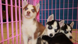 Siberian Husky puppies for sale Atlanta